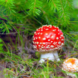 Royalty-Free Stock Photo: Red fly agaric on a fur-tree