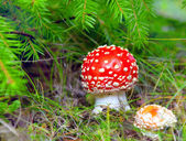 Red fly agaric on a fur-tree — Stock Photo