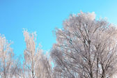 Tree branches with hoarfrost — Stock Photo