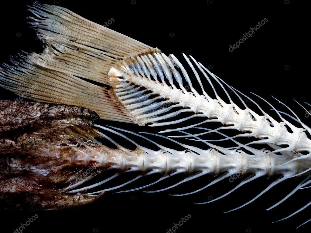 Fish bone stock photo ia 64 1062198 for Fish bone broth