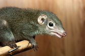 Tupaia glis — Stock Photo