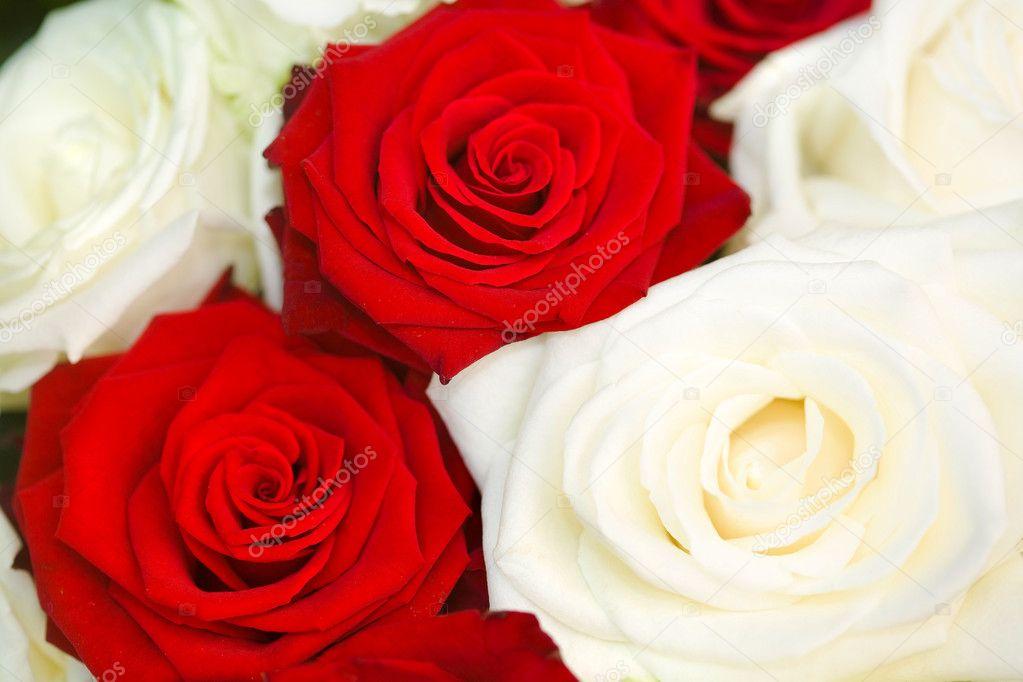 красная и белая роза видео