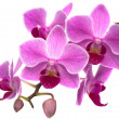 Stock Photo: Orchid phalaenopsis