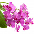 Orchid phalaenopsis - Stock Photo