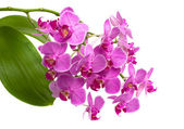 Orchid phalaenopsis — Stock Photo