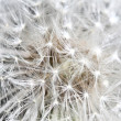 Royalty-Free Stock Photo: Dandilion detail