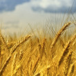 Wheat background — Foto de Stock