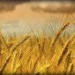 Wheat background — Stock Photo #1067109