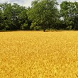 Wheat and tree background — Stock Photo