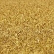 Wheat background — Stock Photo #1067133