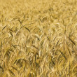 Wheat background — Stock Photo #1067157