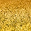 Wheat background — Stock Photo