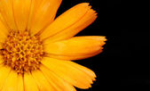 Orange flower closeup — Stock Photo