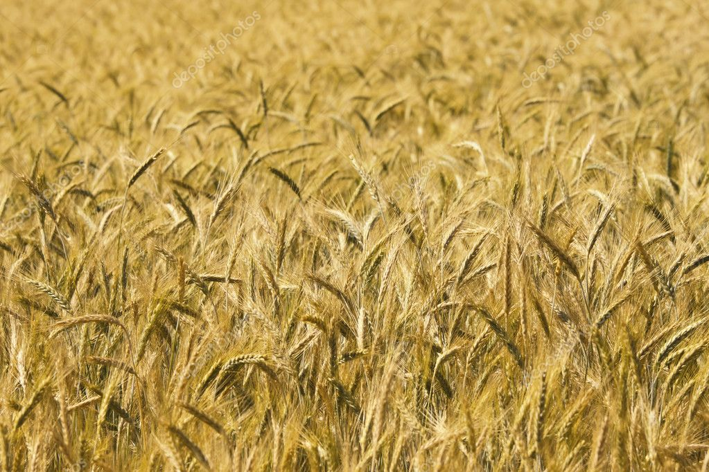 Golden Background Image Image of Golden Wheat Field