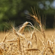 Wheat background — Stock Photo #1079451