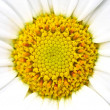Daisy background — Stock Photo