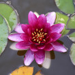 nymphaea — Stock Photo