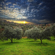 Olive tree background - Stock Photo