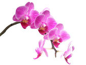 Purplr orchid on white — Stock Photo