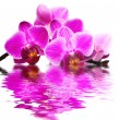 pink orchid — Stock Photo