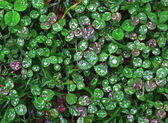 Clover wet Trifolium background — Stock Photo