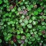 le trèfle trifolium humide fond — Photo
