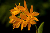 Orange inflorescence of an orchid — Stock Photo