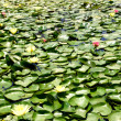 Stock Photo: Water lily in lake