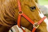 Red bridle — Stock Photo