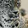 The leopard in a zoo — Stock Photo