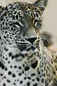 Leopar bir hayvanat bahçesi — Stok fotoğraf