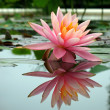 Beautiful Water Lily in Pond — Stock Photo #1077536