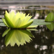 Floating Water Lily — Stock Photo