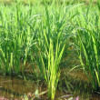 Royalty-Free Stock Photo: Rice Paddy Closeup