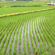 Rice Paddies in Japan — Stock Photo #1079418