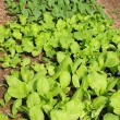 Stock Photo: Vegetable Patch