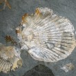 Fossilized Shells — Stock Photo