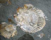 Fossilized Shells — Stock Photo