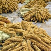 Millet Grain — Stock Photo