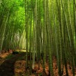 Lush Bamboo Forest — Stock Photo #1213452