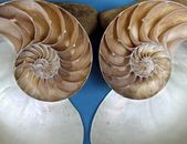 Ammonite Fossil Halves — Stock Photo