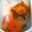 Stock Photo: Tiny Dog in Basket