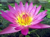 Bright Purple Water Lily — Stock Photo