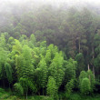 Bamboo and Cypress Trees — Stock Photo #1306803