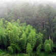 Bamboo and Cypress Trees — Stock Photo