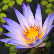 Bright Blue Water Lily - Stock Photo