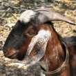 Closeup of Goat — Stock Photo #2192314