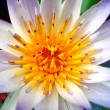 Closeup of a Water Lily — Stock Photo