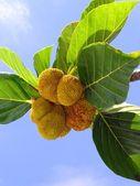 Small Jackfruits — Stock Photo