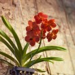 Red orchid growing in a pot — Stock Photo